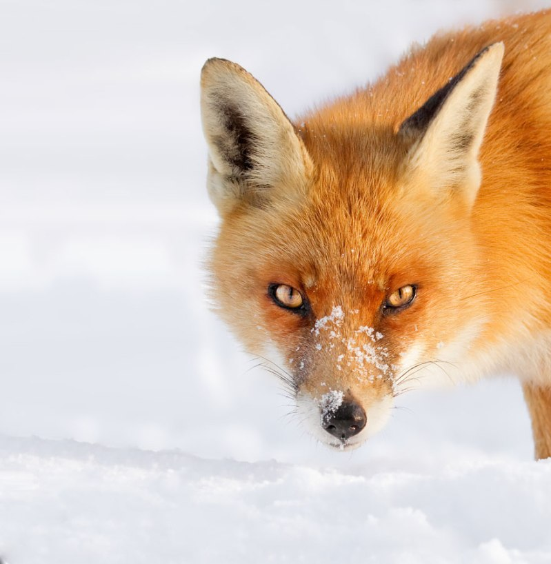 Photo de Roeselien Raimond  - Source: http://www.boredpanda.com/winter-fox-photography-roeselien-raimond/