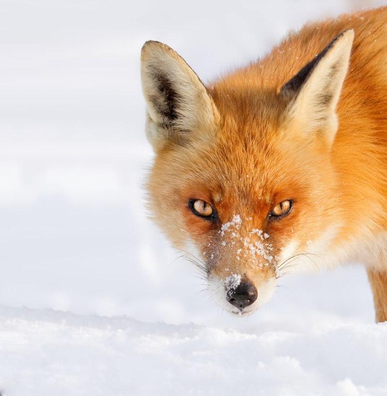 Photo de Roeselien Raimond  - Source: http://www.boredpanda.com/winter-fox-photography-roeselien-raimond/