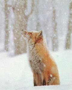 fox_snow